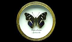 Apatura ilia Переливница. Бабочка Коллекционная.