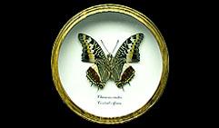 Charaxes castor. Бабочка Коллекционная.
