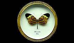 Ithomiidae. Бабочка Коллекционная.