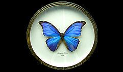 Morpho didius. Бабочка Коллекционная.