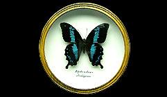 Papilio oribasus. Бабочка Коллекционная.