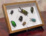 Coleoptera varia (настольный или настенный вариант). Жуки Коллекционные.