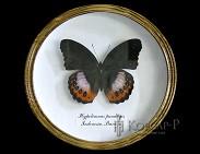 Hypolimnas pandarus (БОЛ). Бабочка Коллекционная.