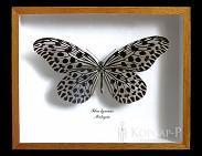 Idea lynceus. Бабочка Коллекционная.