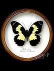 Papilio euchenor. Бабочка Коллекционная.