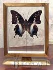 Polyura cognatus (витринка двухсторонняя с подставкой). Бабочка Коллекционная.