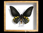 Troides hypolithus. Бабочка Коллекционная.